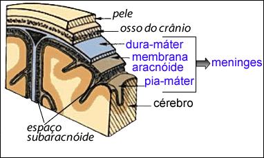 meniges1